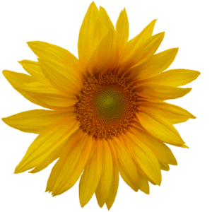 Light yellow sunflower