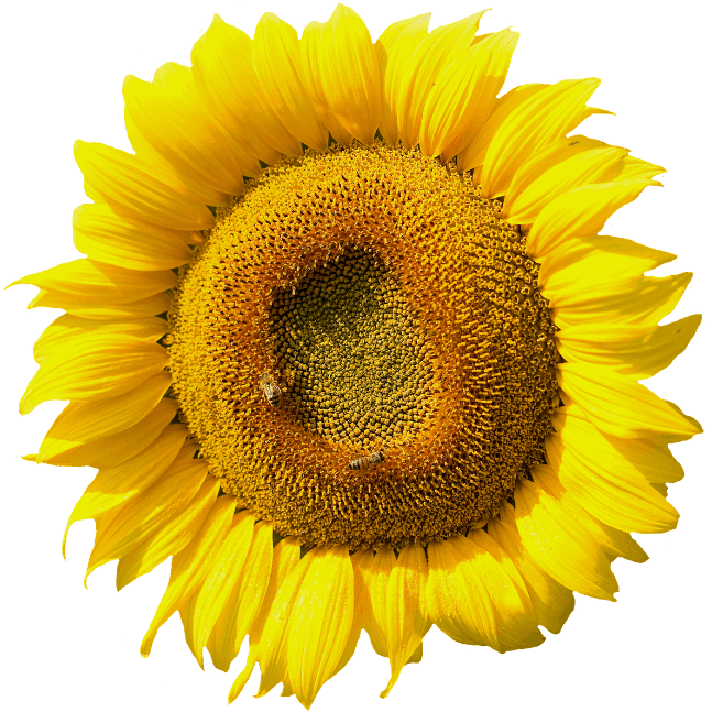 Sunflower image opens to Youtube Video