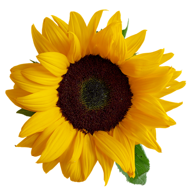 Gorgeous sunflower close up