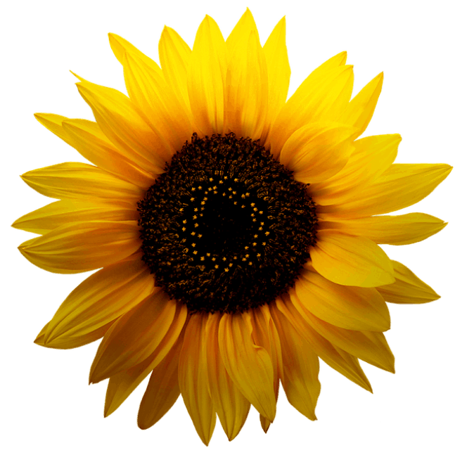Sunflower with intircate pattern